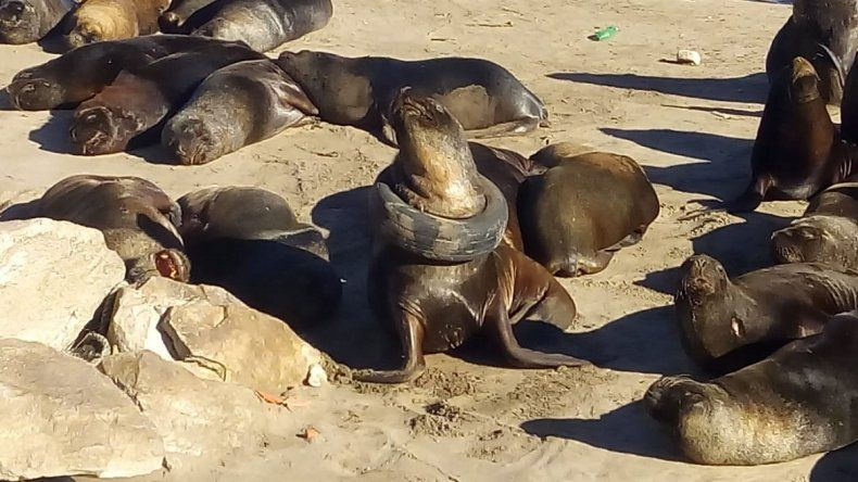 Rescataron al lobo marino que tenía una rueda colgada en su cuello