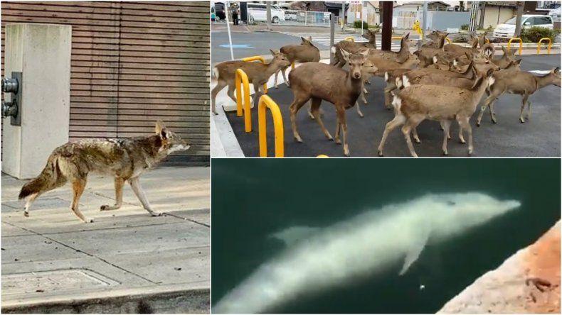 Imágenes y videos: los animales corren libres en las ciudades en cuarentena