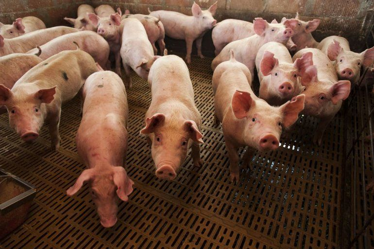 Marcharán en Paraná en rechazo al acuerdo porcino Argentina - China
