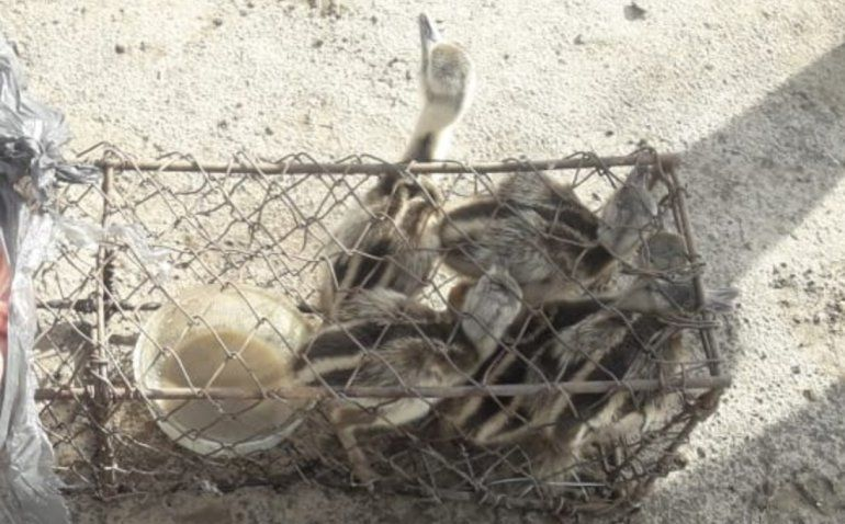 Rescataron seis pichones de avestruz atrapados por cazadores furtivos