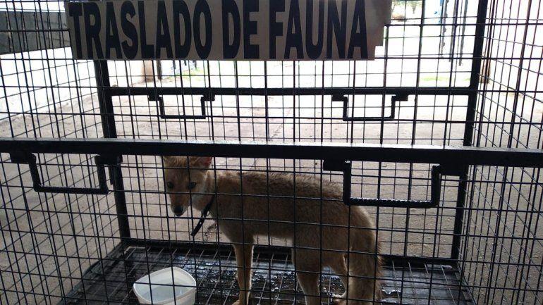 Rescataron un zorro gris que era mantenido en cautiverio en San Benito